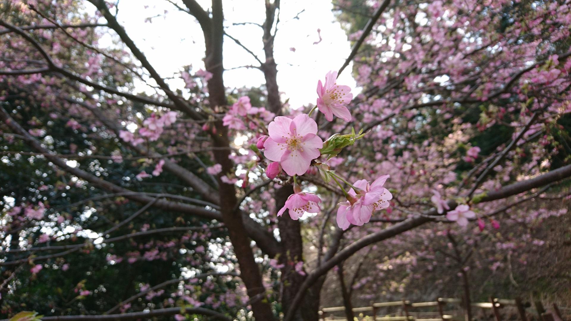 桜 見頃 河津